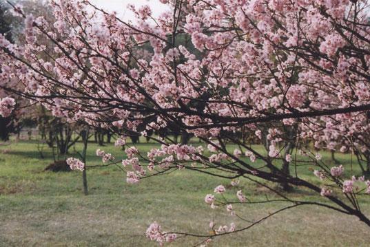 uma das 1200 cerejeiras do parque do carmo l imagem: o guia verde