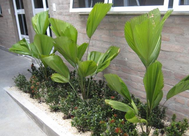 jardim sob janela com palmeiras-leque e mini ixoras
