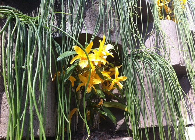 detalhe de orquídeas amarelas salpicadas no muro verde